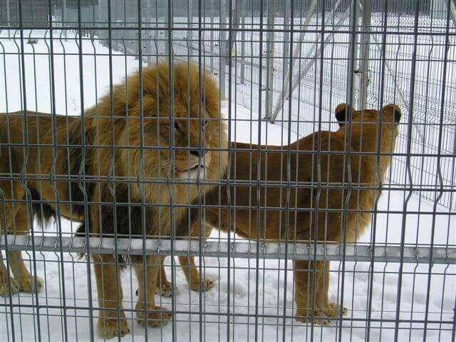 ciekaw lwy
